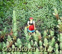 Click for suggestions and tips about groundcovers.
